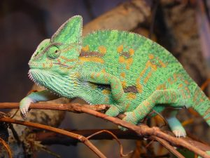 Chameleons know change well
